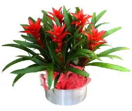 5 adet guzmanya saksı çiçeği  Ankara İnternetten çiçek siparişi
