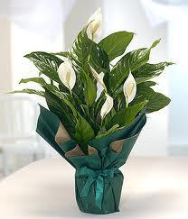 Spatifilyum Barış çiçeği Büyük boy  Ankara internetten çiçek siparişi