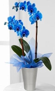Seramik vazo içerisinde 2 dallı mavi orkide  Ankara ucuz çiçek gönder