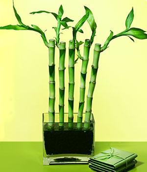 Ankara çiçek siparişi sitesi  Good Harmony Lucky Bamboo camda