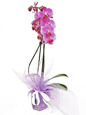 Ankara çiçek siparişi sitesi  Kaliteli ithal saksida orkide