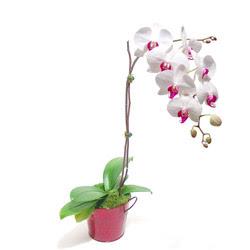 Ankara çiçekçi telefonları  Saksida orkide