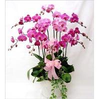 Ankara yurtiçi ve yurtdışı çiçek siparişi  3 adet saksi orkide  - ithal cins -