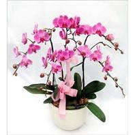 Ankara çiçek siparişi vermek  3 adet saksi da orkide - yerli ege cins -