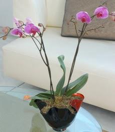 Ankara 14 şubat sevgililer günü çiçek  tek dal ikili orkide saksi çiçegi