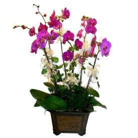 Ankara güvenli kaliteli hızlı çiçek  4 adet orkide çiçegi