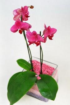 Ankara 14 şubat sevgililer günü çiçek  tek dal cam yada mika vazo içerisinde orkide