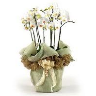 Ankara anneler günü çiçek yolla  3 dal orkide , saksi çiçegi , 3 kök orkide