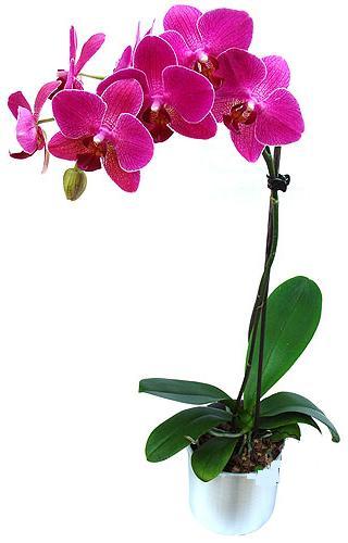 Ankara 14 şubat sevgililer günü çiçek  saksi orkide çiçegi