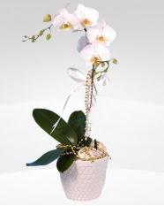 1 dallı orkide saksı çiçeği  Ankara uluslararası çiçek gönderme