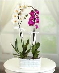 1 dal beyaz 1 dal mor yerli orkide saksıda  Ankara internetten çiçek siparişi