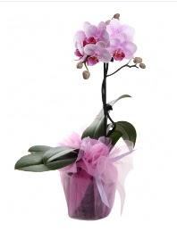1 dal pembe orkide saksı çiçeği  Ankara online çiçek gönderme sipariş