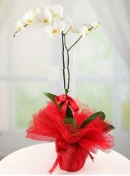 1 dal beyaz orkide saksı çiçeği  Ankara cicekciler , cicek siparisi