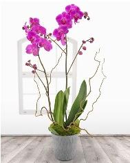 2 dallı mor orkide saksı çiçeği  Ankara çiçek satışı