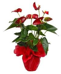 Görsel antoryum saksı çiçeği  Ankara kaliteli taze ve ucuz çiçekler