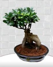 saksı çiçeği japon ağacı bonsai  Ankara online çiçek gönderme sipariş