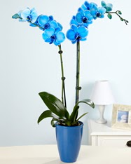 Eşsiz bir hediye 2 dallı mavi orkide  Ankara yurtiçi ve yurtdışı çiçek siparişi