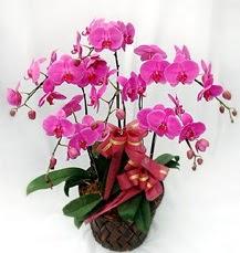 6 Dallı mor orkide çiçeği  Ankara çiçek siparişi sitesi