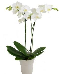 2 dallı beyaz orkide  Ankara online çiçekçi , çiçek siparişi