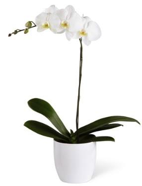 1 dallı beyaz orkide  Ankara çiçekçi mağazası