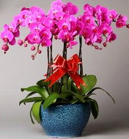 7 dallı mor orkide  Ankara çiçekçiler