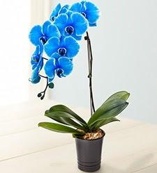 1 dallı süper eşsiz mavi orkide  Ankara çiçek siparişi vermek