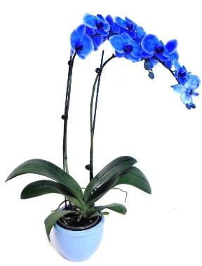 Seramikli 2 dallı süper eşsiz mavi orkide  Ankara internetten çiçek siparişi
