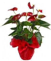 Antorium saksı çiçeği  Ankara 14 şubat sevgililer günü çiçek