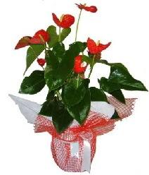 Antoryum saksı iç mekan süs bitkisi  Ankara internetten çiçek siparişi