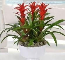 3 lü Guzmanya saksı çiçek bitkisi  Ankara çiçekçi mağazası