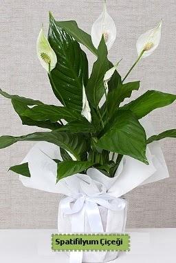 Spatifilyum Orta boy Saksı çiçeği  Ankara çiçek siparişi sitesi