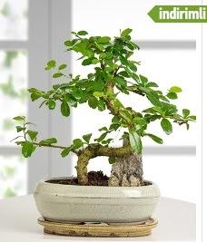 S şeklinde ithal gerçek bonsai japon ağacı  Ankara hediye sevgilime hediye çiçek