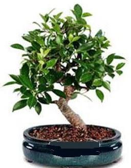 5 yaşında japon ağacı bonsai bitkisi  Ankara çiçek siparişi sitesi