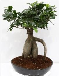 5 yaşında japon ağacı bonsai bitkisi  Ankara hediye sevgilime hediye çiçek