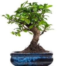 5 yaşında japon ağacı bonsai bitkisi  Ankara çiçek , çiçekçi , çiçekçilik