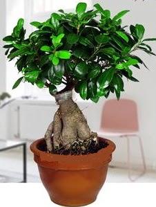 5 yaşında japon ağacı bonsai bitkisi  Ankara kaliteli taze ve ucuz çiçekler