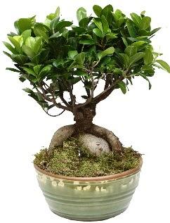 Japon ağacı bonsai saksı bitkisi  Ankarada çiçek gönderme sitemiz güvenlidir