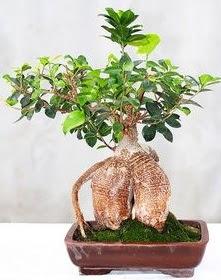 Japon ağacı bonsai saksı bitkisi  Ankara çiçek satışı