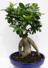 bonsai japon ağacı saksı çiçeği  Ankara internetten çiçek siparişi