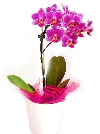 Tek dallı mor orkide  Ankaraya çiçek yolla