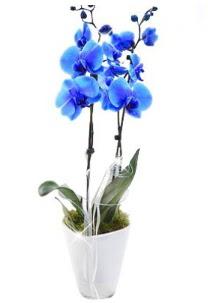 2 dallı AŞILI mavi orkide  Ankara çiçek , çiçekçi , çiçekçilik