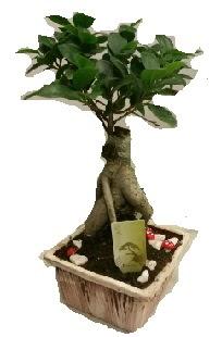 Japon ağacı bonsai seramik saksı  Ankara çiçek siparişi vermek