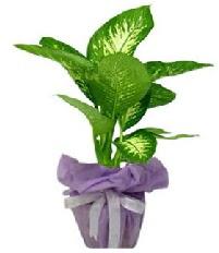 80 cm Büyük boy Tropik saksı bitkisi  Ankara çiçek siparişi sitesi