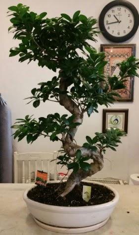 100 cm yüksekliğinde dev bonsai japon ağacı  Ankarada çiçek gönderme sitemiz güvenlidir