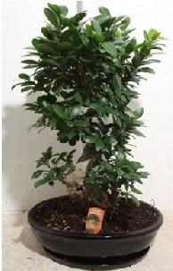 75 CM Ginseng bonsai Japon ağacı  Ankara hediye çiçek yolla