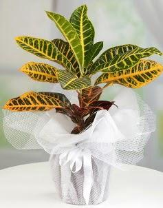 Orta boy kraton saksı bitkisi  Ankara internetten çiçek siparişi