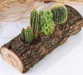 Doğal ağaç 4 adet kaktüs tanzimi  Ankaraya çiçek yolla