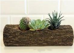 Ahşap kütük 3 kaktüs terrarium  Ankara hediye çiçek yolla
