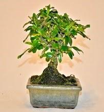Zelco bonsai saksı bitkisi  Ankara internetten çiçek siparişi