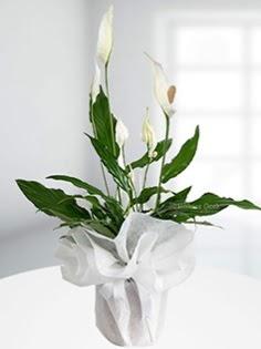 Spathiphyllum Çiçeği Barış çiçeği  Ankara çiçek siparişi sitesi